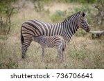 baby zebra suckling from his... | Shutterstock . vector #736706641