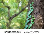 ivy that entangles in trees | Shutterstock . vector #736740991