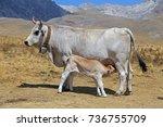 gray cow and calf suckling | Shutterstock . vector #736755709