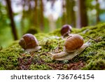 Stock photo helix pomatia also roman snail burgundy snail edible snail or escargot is a species of large 736764154