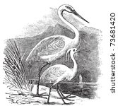 Engraving Of A Great Egret ...