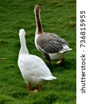 Small photo of Pair of goose