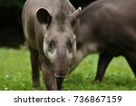 south american tapir in the... | Shutterstock . vector #736867159