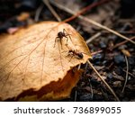 beautiful ants. ant red  forest ... | Shutterstock . vector #736899055
