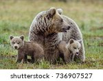She bear and cubs of brown bear ...