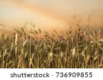 backdrop of ripening ears of... | Shutterstock . vector #736909855