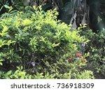 outdoor shrubs background | Shutterstock . vector #736918309