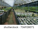 cactus in the agricultural... | Shutterstock . vector #736928071
