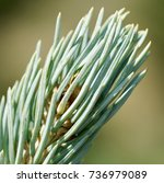 Small photo of Pine tree in Alma, Colorado in very high resilient to harsh weather and bad soils. detail macro, art