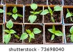 Seedlings Of Bell Pepper In...