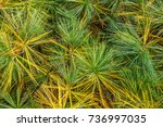 close up of pine needles with... | Shutterstock . vector #736997035