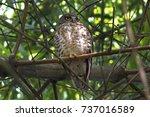 brown hawk owl brown boobook...   Shutterstock . vector #737016589