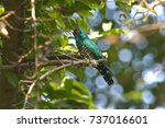 asian emerald cuckoo...   Shutterstock . vector #737016601