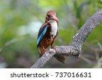 white throated kingfisher...   Shutterstock . vector #737016631
