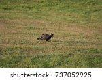 juvenile bald eagle eating prey ... | Shutterstock . vector #737052925
