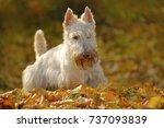 white wheaten scottish terrier  ... | Shutterstock . vector #737093839