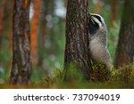 wild badger  meles meles ... | Shutterstock . vector #737094019