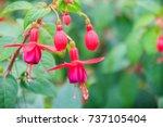Pink Fuchsia Magellanica...