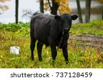 Black Cow Eating Wet Grass.