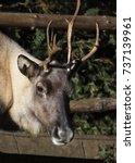 Small photo of Reindeer Rangifer tarandus also known as Caribou