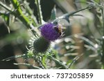Thistle  Thistles Blossoms ...
