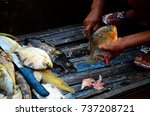 a red bellied piranha and other ... | Shutterstock . vector #737208721