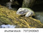 close up of alligator snapping... | Shutterstock . vector #737243065
