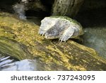close up of alligator snapping... | Shutterstock . vector #737243095