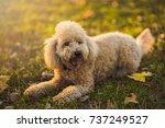 Cute Little Miniature Poodle ...
