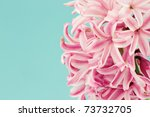 Beautiful pink hyacinth macro against a blue background with available copy space. - stock photo