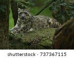 endangered snow leopard resting ...   Shutterstock . vector #737367115
