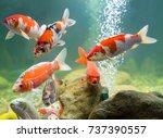 carp in the aquarium | Shutterstock . vector #737390557