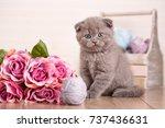 interesting scottish kittens....   Shutterstock . vector #737436631