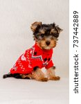 Stock photo a small dog in a sweater sits cute sitting yorkshire terrier puppy in christmas 737442889