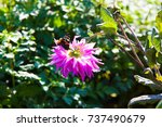 purple dahlia in an autumn... | Shutterstock . vector #737490679