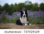 border collie | Shutterstock . vector #737529139