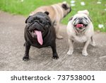 funny pug dog in mating season. | Shutterstock . vector #737538001