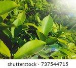 green leaf on sunshine light | Shutterstock . vector #737544715
