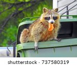 Raccoon In A Garbage Bin