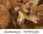 deer walking in the zoo as a... | Shutterstock . vector #737591164