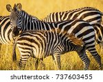 plains zebra mare watches while ... | Shutterstock . vector #737603455