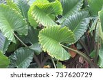 taro leaves  | Shutterstock . vector #737620729