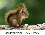 american red squirrel ... | Shutterstock . vector #73764937