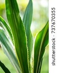 Small photo of Agave americana, Green aloe with yellow stripes, Green leaves pattern