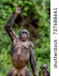 the bonobo   pan paniscus ... | Shutterstock . vector #737688661
