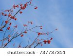 branches of rowan on the left... | Shutterstock . vector #737737351
