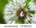 Close Up Of Wet Dandelion Seed...
