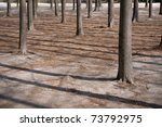 Tree trunks casting shadows in early spring - stock photo