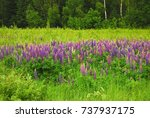 the large leaved lupine ... | Shutterstock . vector #737937175