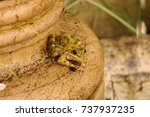 Small photo of Cape river frog, Amietia fuscigula, Muizenberg, Cape Town, False Bay, South Africa